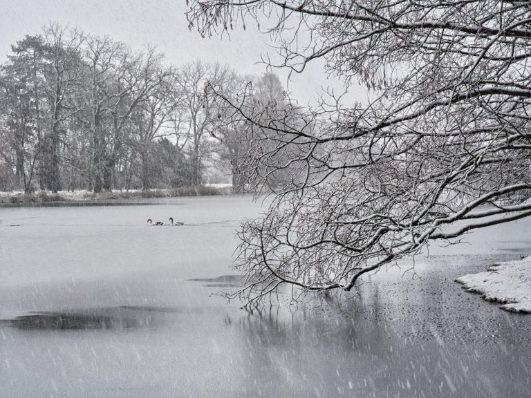 Wörlitzer See -Schwäne im Eis