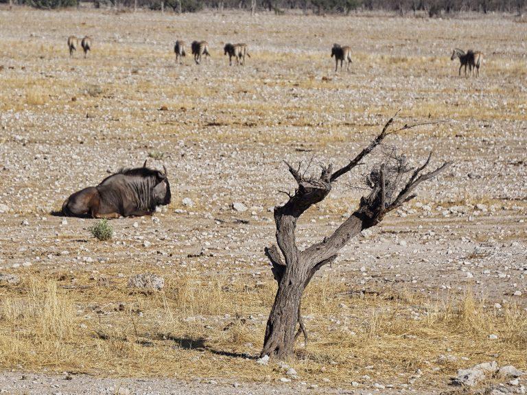 Etosha National Park - Streifengnu