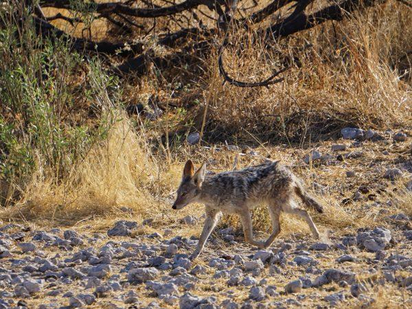 Etosha National Park - Schakal