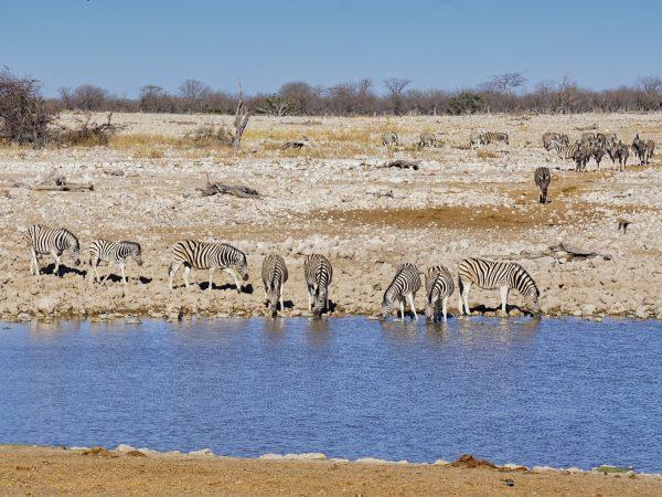 Etosha National Park - Steppenzebras