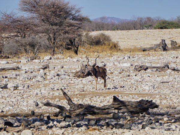 Etosha National Park - Kudu