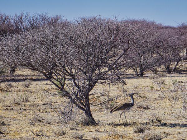 Etosha National Park - Riesentrappe