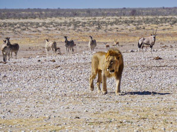 Etosha National Park - Löwe