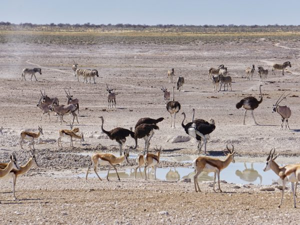 Etosha National Park - Vogelstrauß