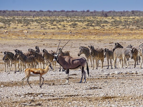 Etosha National Park - Springbock, Gemsbock und SteppenzebraPark - Springbock, Gemsbock und Steppenzebra