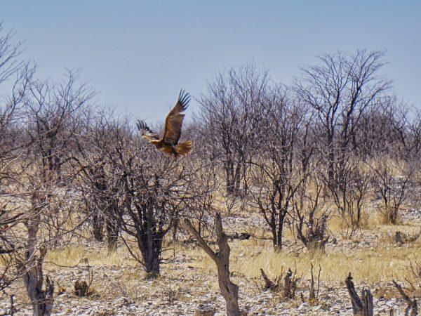 Etosha National Park - Raubadler