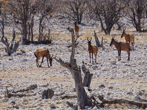 Etosha National Park - Springbock