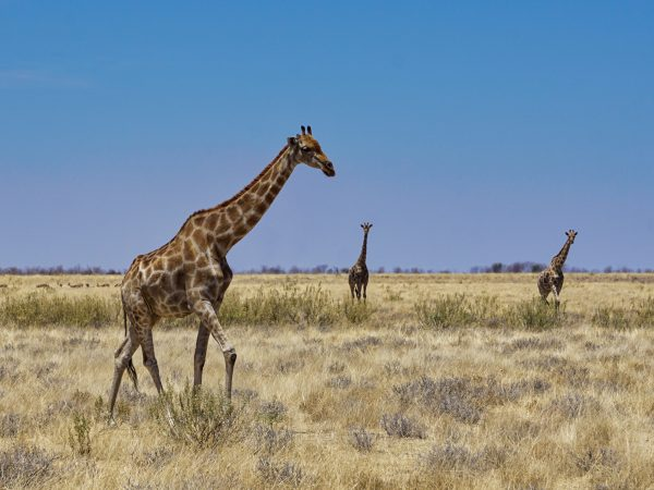 Etosha National Park - Giraffen