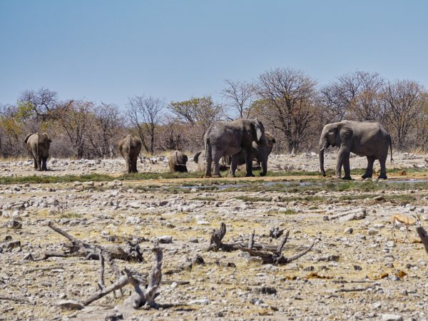 Etosha National Park - Elefanten
